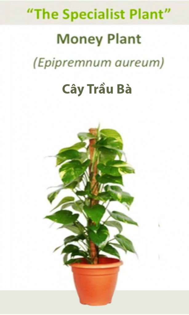 NoiThatNghiDuong-Cay-Oxy-Kim-Ngan copy