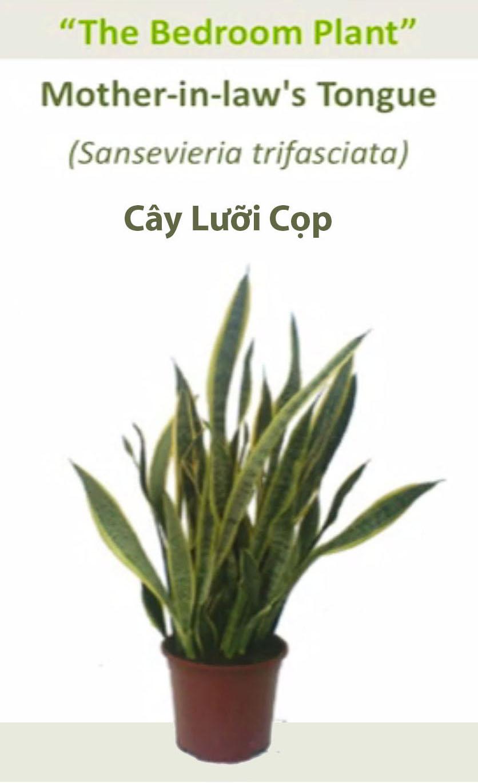 NoiThatNghiDuong-Cay Oxy Luoi Cop